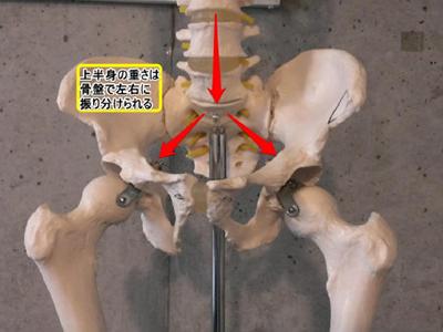骨盤・体幹のしくみ